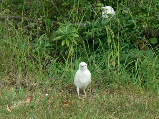 Two albino crow fledglings.  Photo by Kathleen Bernz.