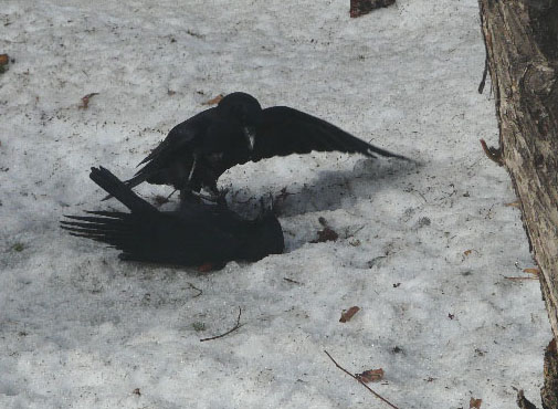 Fighting crows. Photo by Sheila & Boyd Anderson