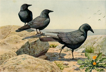 Fish Crow and Crow, by Louis Agassiz Fuertes (1874 - 1927). From Birds of America,  published in 1936.