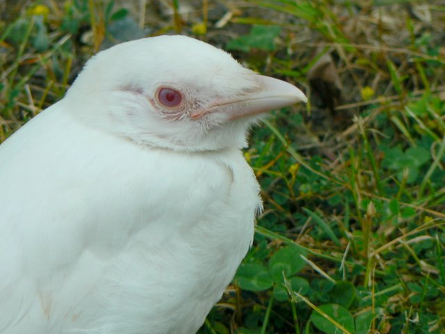 Close-up of one of the young albino crows.  Photo by Kathleen Bernz.