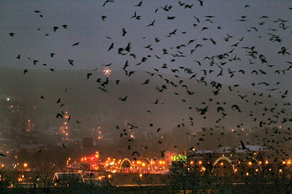 Bethlehem Pennsylvania crow roost.  Photo by Linda Anthony.