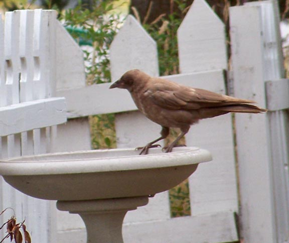 A juvenile caramel crow. 7/13/09. Kate and Felipe Garcia photo.