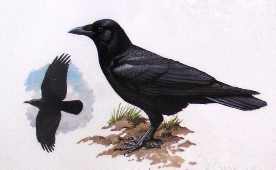 Life History Of The Crow Crowsnet Project - Bird Map Of The Us Crows