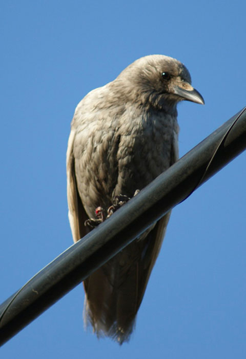 A Leucistic crow. Photo by Meris Brown.