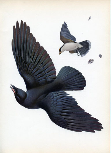 Eastern Crow and Eastern Kingbird, by Athos Menaboni.
