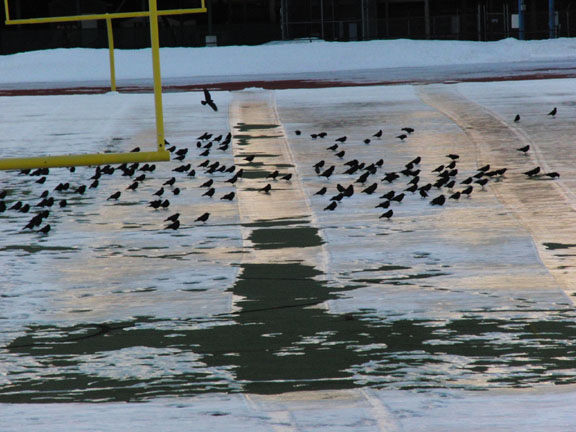 Crows on the Ice in Portland, Maine.  Photo by Michael Westerfield.