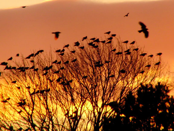 Portland, Maine Crow Roost at Sunset.  Photo by Michael Westerfield.
