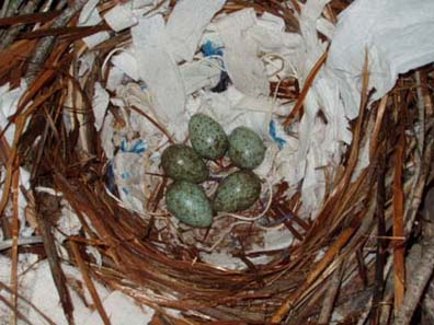 Razzle�s nest with eggs. Photo by Renee Thompson.