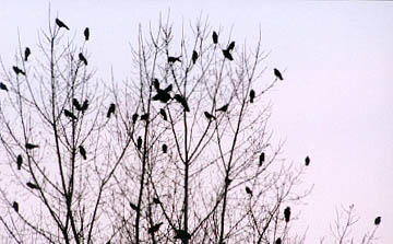 Communal roost photographed by Michael Westerfield in November 1999, in Norwich, CT.