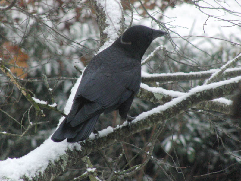 Crow on a snowy branch. 12/21/08. M. Westerfield photo.