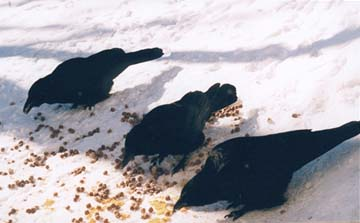 Crows feeding on corn chips and dog food, January 2000.
