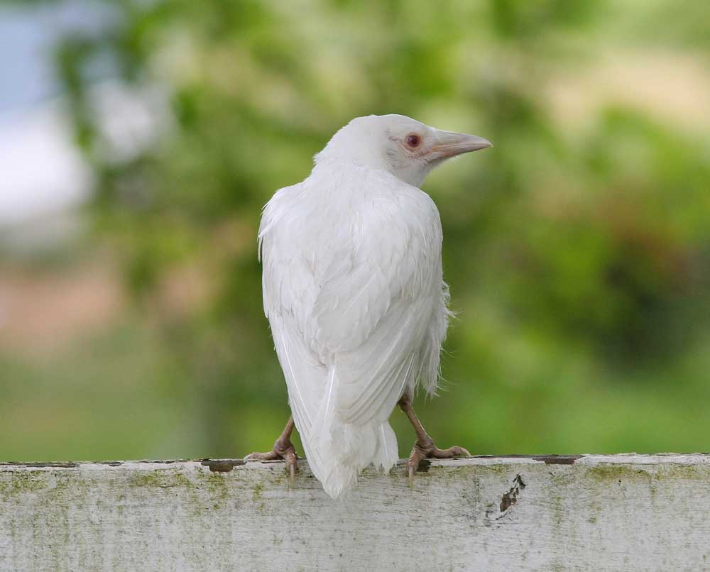A juvenile albino crow. 6/24/09. Mark Macdonald photo.